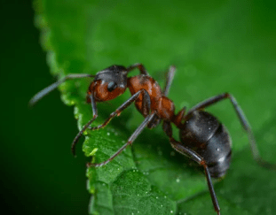 understanding-more-about-ants-in-your-home