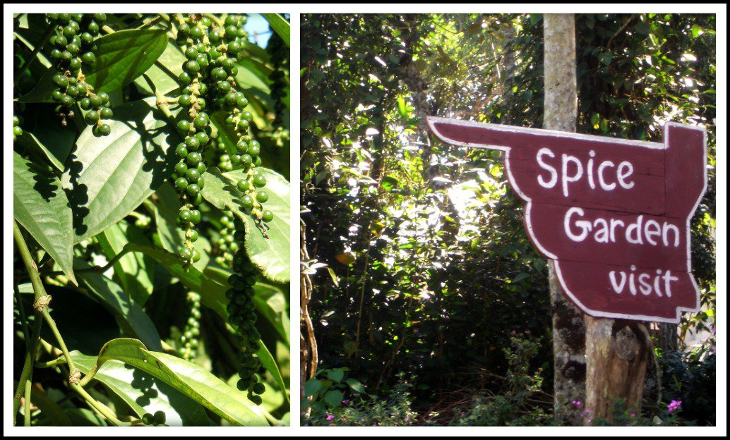 Spice Garden In Munnar With Peppercorn Plant