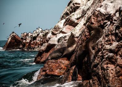 Otaries des îles Ballestas