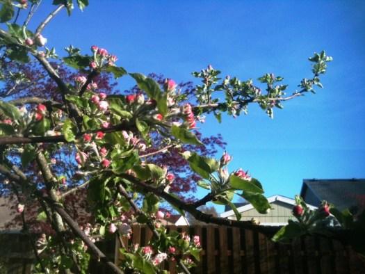 apple blossoms April 11 2014