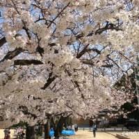 神戸川井公園の桜で花見ランチ