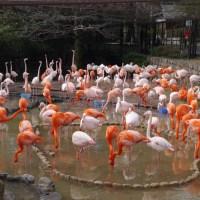 きれいなフラミンゴたち 王子動物園で