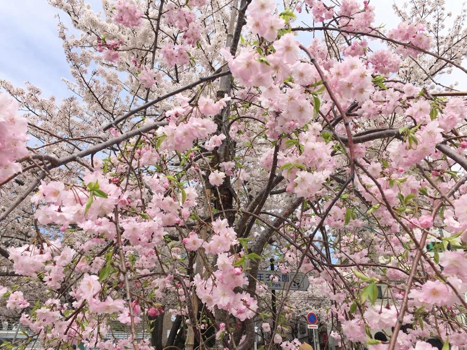神戸の灘駅のピンク色の桜