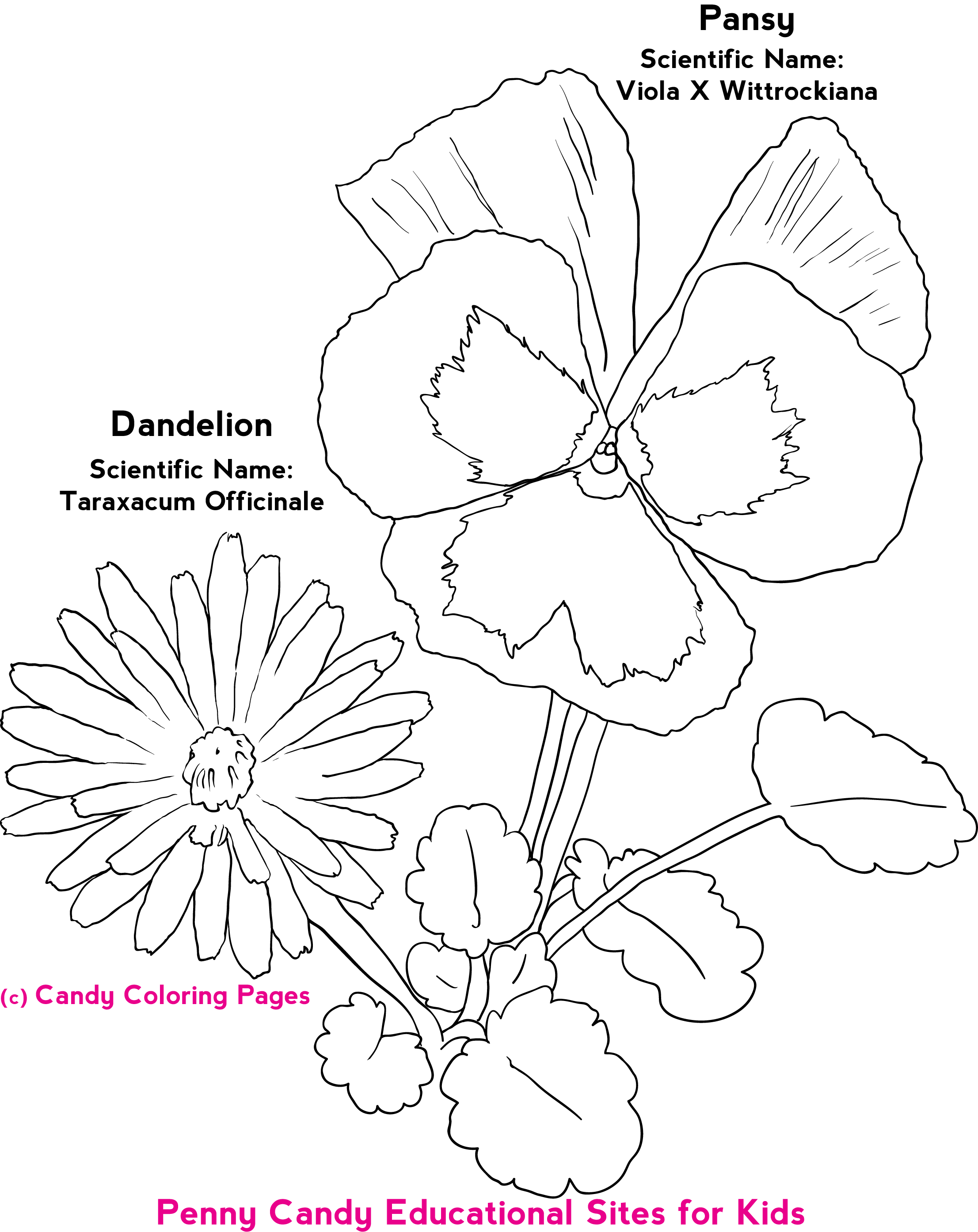 Marvelous Free Flower Coloring Pages Free Coloring Pages for Adult