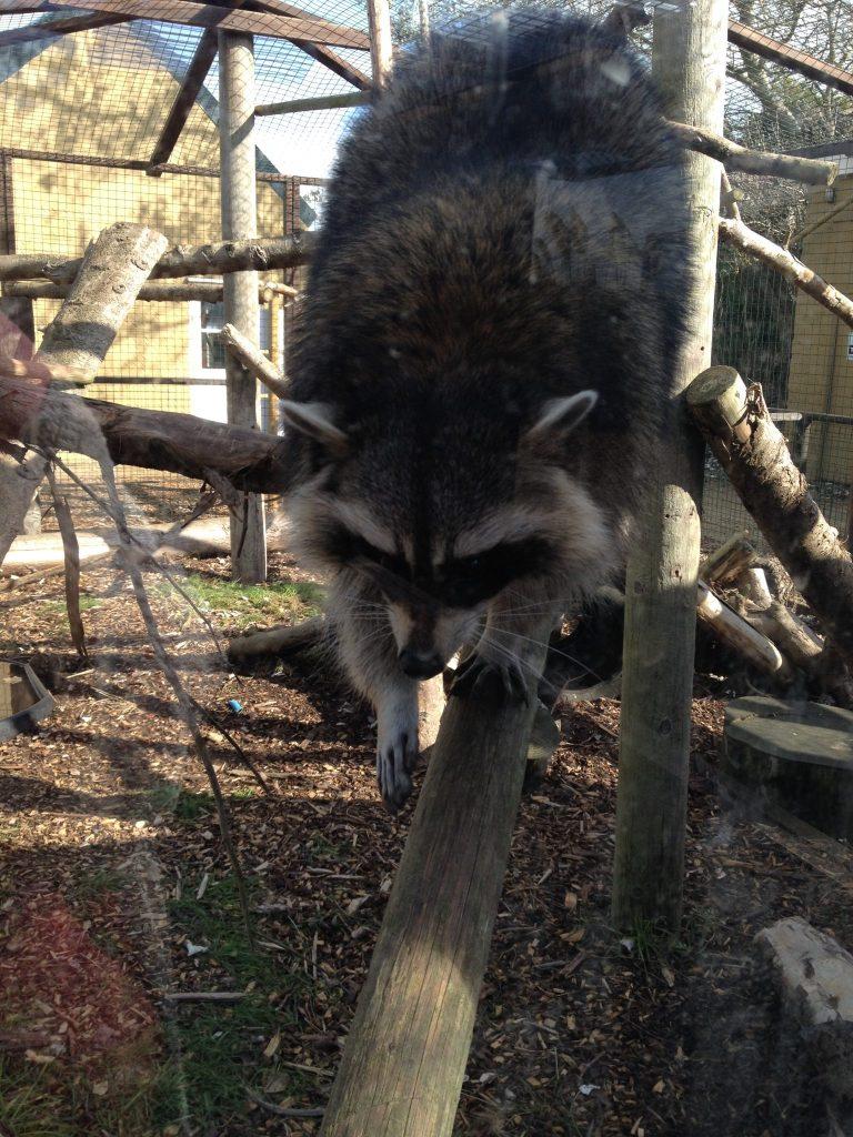 isle of wight zoo, raccoon zoo, zoo, isle of wight, iow attractions