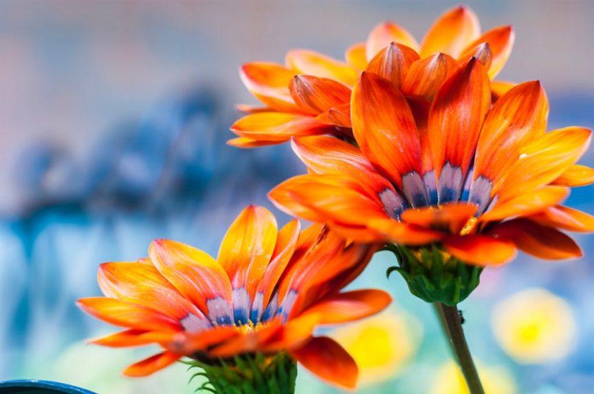 vibrant orange flowers, summer garden,