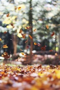 autumn leaves falling in the woods