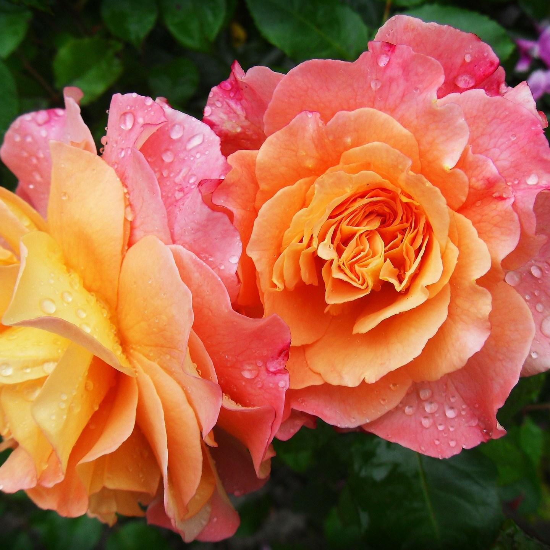 Rose – Haiku