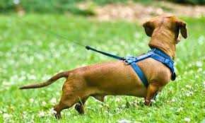 Il Mio Cane Non Smette di Tirare al Guinzaglio: Cosa Faccio?