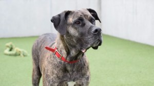 Bull Mastiff Battersea