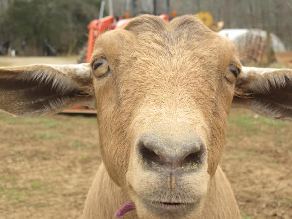 GOATSThis is April. She has been around for a long time and wears a purple collar. She likes people. Sometimes, she likes to jump on you so watch out.