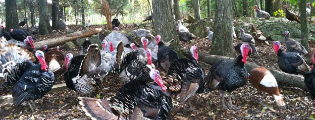 turkeys!