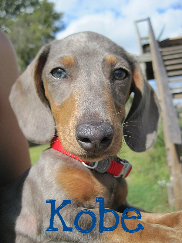 Blue Mini Dachshund : dachshund, Caney, Creek, Kennels, About, Puppies, Labrador, Retrievers, Miniature, Dachshunds, Contract, Guarantee, Wonderful, Personalities, Temperaments., Friendly,, Outgoing,