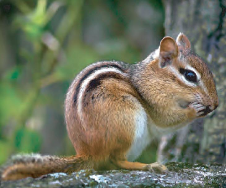 animal facts eastern chipmunk