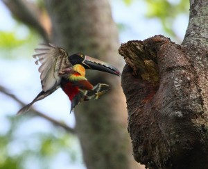 Birding in Pico Bonito