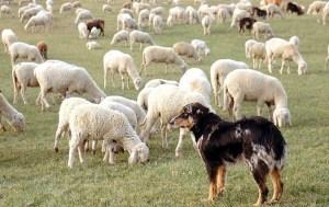 pastore-oropa1