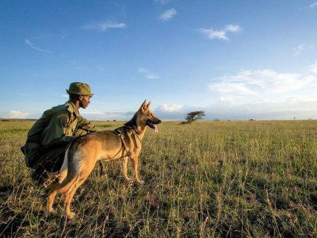 Uno splendido esempio di cooperazione è in Sudafrica, dove da qualche anno molti cani sono impiegati per inseguire e scovare i bracconieri.