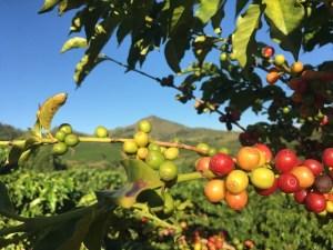 Coffee plant beans Mountain