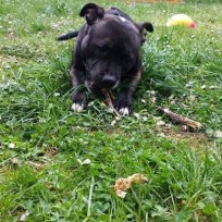 Canima - Jersey - Staffordshire Bull Terrier