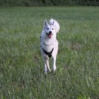 Canima - Iodine - Husky de sibérie