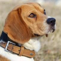 Canima - Lucky - Beagle