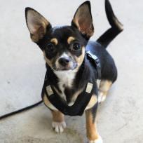 Canima - Nesquik - Chihuahua
