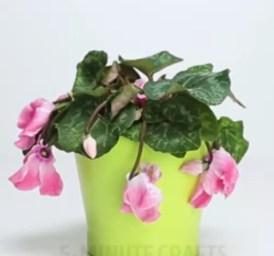 Solan çiçekleri canlandırmak için doğal gübre yapımı (1)