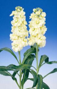 Şebboy Çiçeği (10)