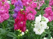 Şebboy Çiçeği (12)