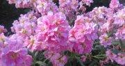 Şebboy Çiçeği (5)