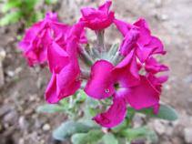 Şebboy Çiçeği (7)