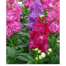 Şebboy Çiçeği (8)
