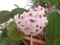 Mum Çiçeği Bitkisi Nasıl Çoğaltılır-1