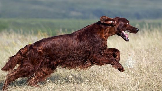 a red setter dog