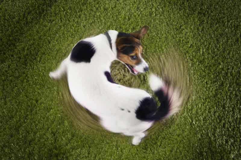 dog spinning around