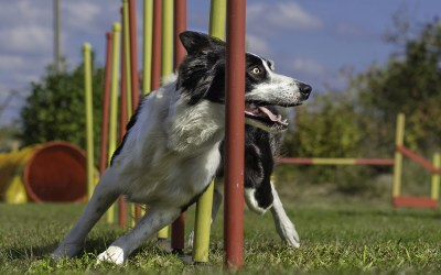 How Agility Training Will Benefit Your Dog