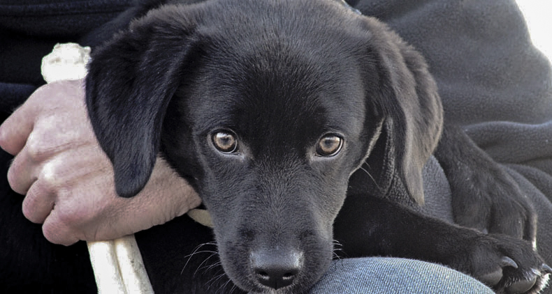 Karl - Trained Black Labrador for Sale