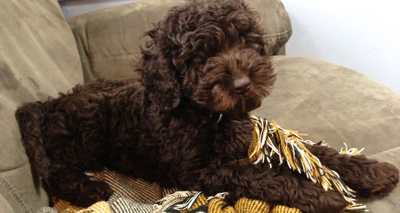 Truman-Trained-Labradoodle-Puppy
