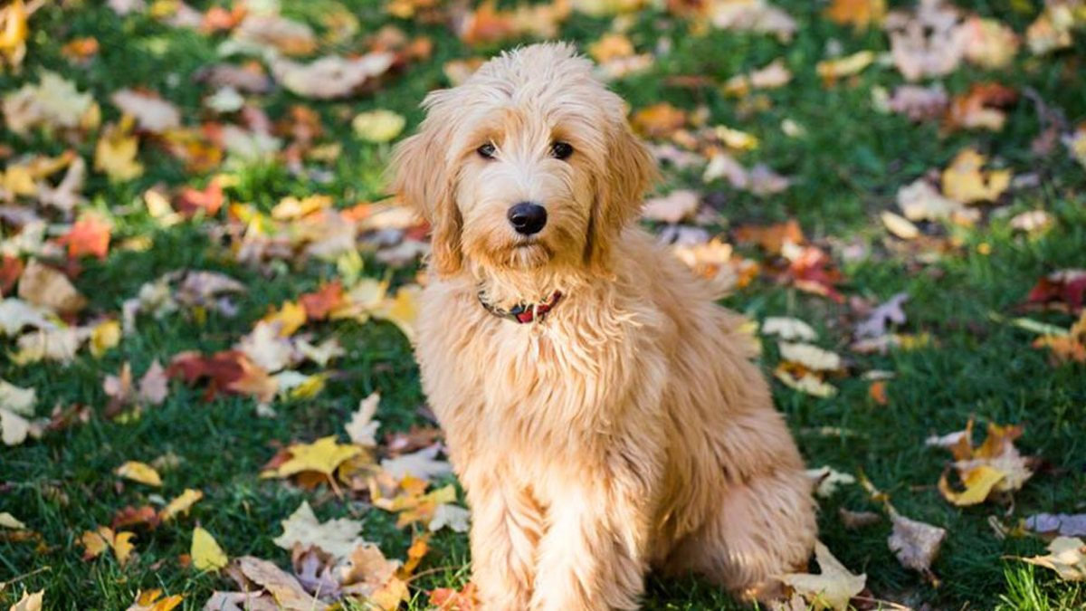Ani. Trained Goldendoodle at Canine Peace of Mind
