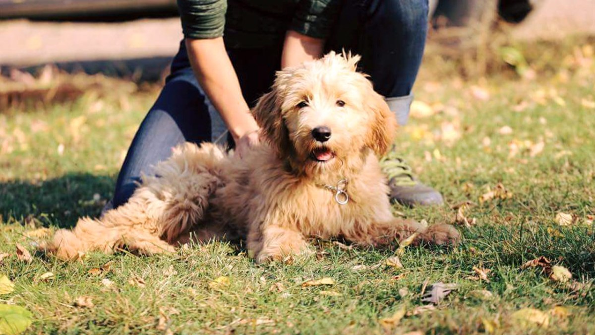 Trained Goldendoodle for Sale, Ani