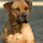 Is the Boerboel Right For You?