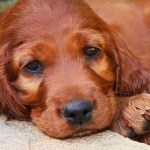 irish setter health