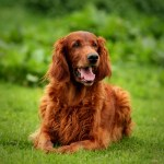 irish setter laying down