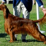 showing the irish setter