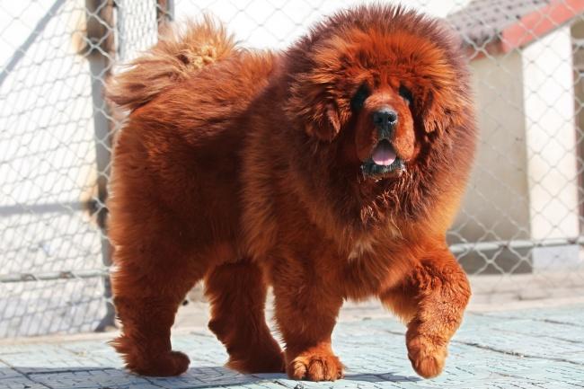 Tibetan Mastiff Canineplanet Net