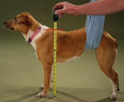 Dog Mesuring