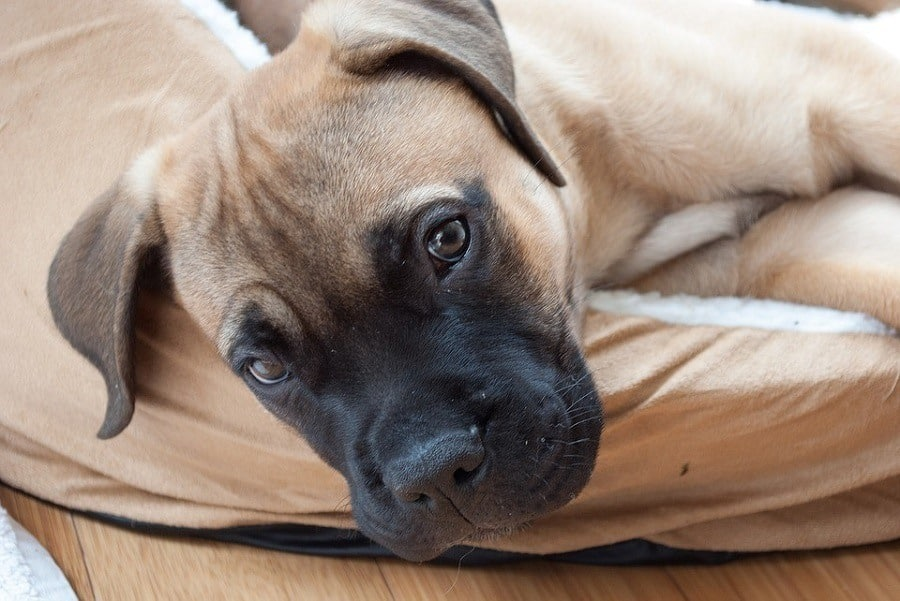 Big Dogs In Small Spaces: Apartment Life With Large Breeds