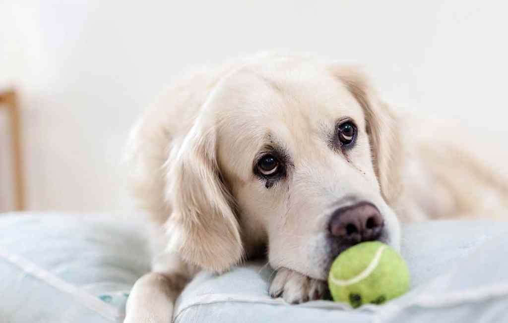 orthopedic dog bed