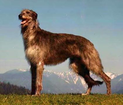 Irish Wolfhound Vs Scottish Deerhound Similarities And