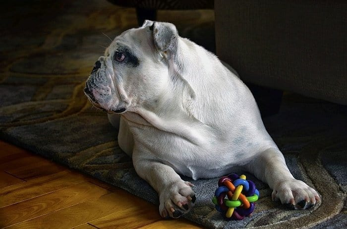best large dogs for apartments 13